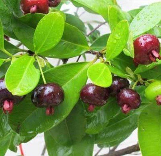 Cây giống cherry, cam kết chuẩn giống, giao cây toàn quốc6