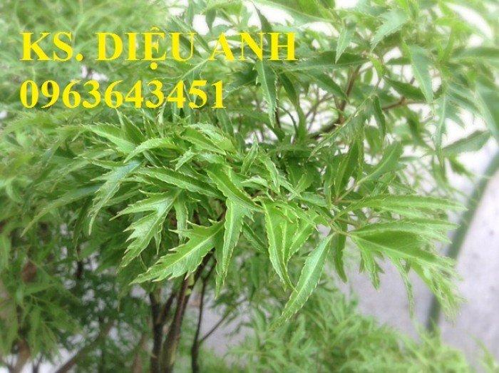 Chuyên cung cấp hạt giống, cây giống đinh lăng, số lượng lớn, bao tiêu sản phẩm đầu ra.4
