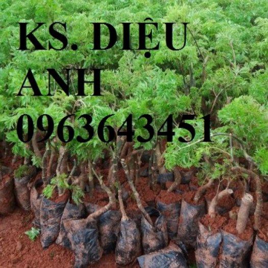 Chuyên cung cấp hạt giống, cây giống đinh lăng, số lượng lớn, bao tiêu sản phẩm đầu ra.5