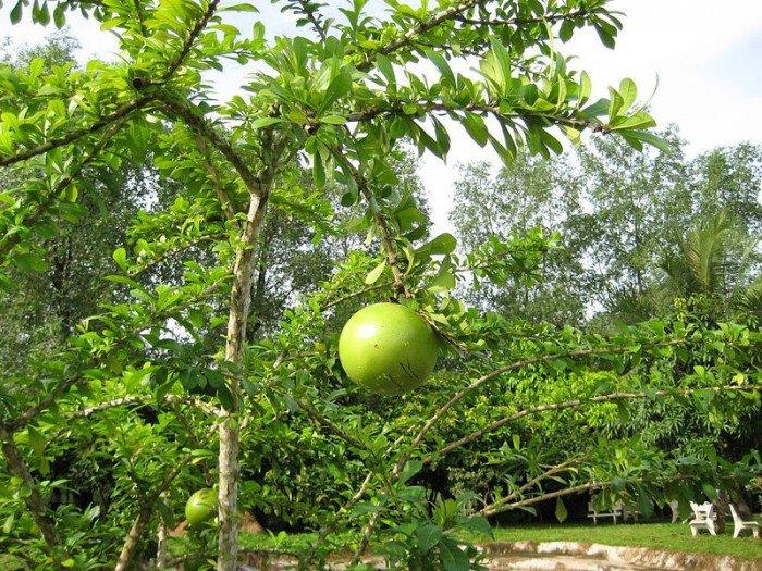 Chuyên cung cấp giống cây đào tiên, cây giống đào tiên,đào tiên chất lượng cao0