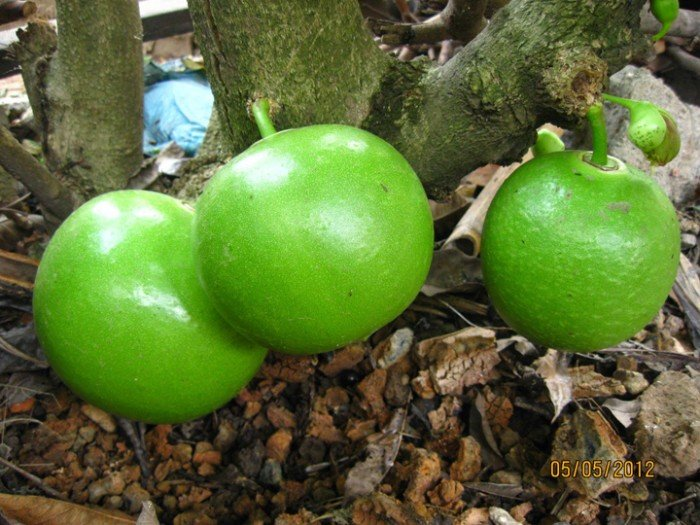 Chuyên cung cấp giống cây đào tiên, cây giống đào tiên,đào tiên chất lượng cao1