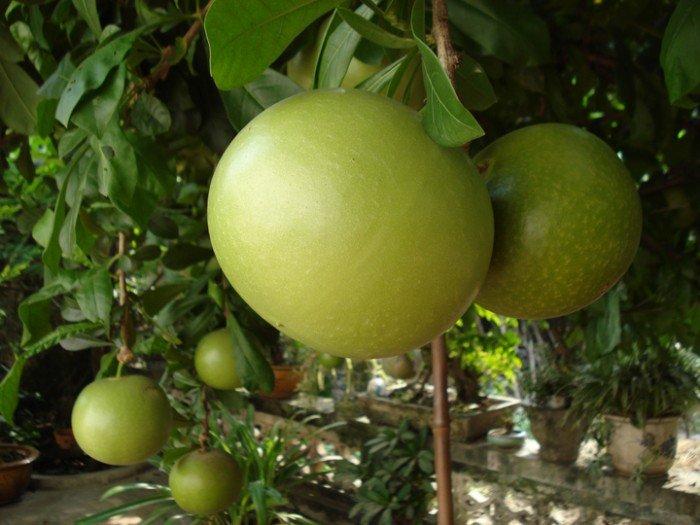 Chuyên cung cấp giống cây đào tiên, cây giống đào tiên,đào tiên chất lượng cao2