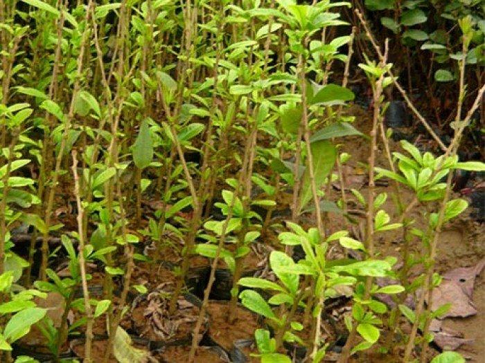Chuyên cung cấp giống cây đào tiên, cây giống đào tiên,đào tiên chất lượng cao3