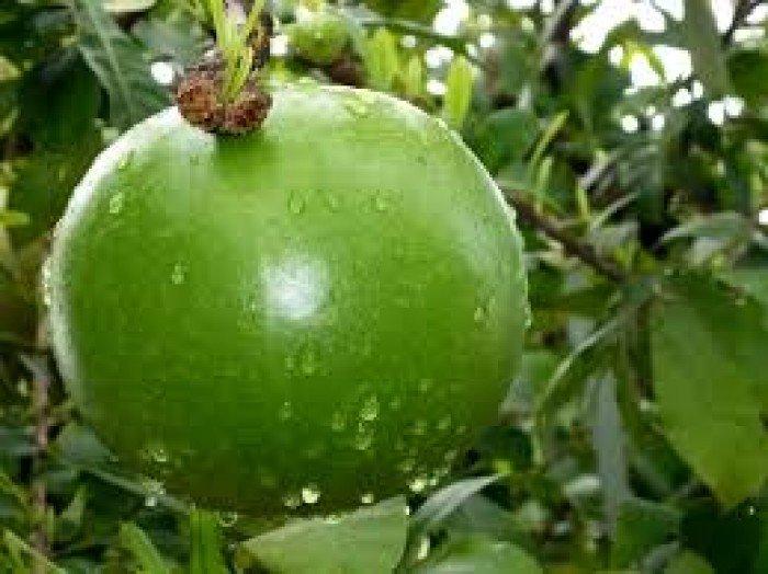 Chuyên cung cấp giống cây đào tiên, cây giống đào tiên,đào tiên chất lượng cao4