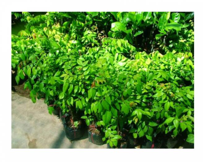 Chuyên cung cấp giống cây khế chua, cây khế chua, khế chua, khế1