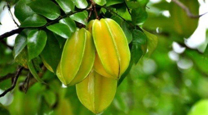 Chuyên cung cấp giống cây khế chua, cây khế chua, khế chua, khế2