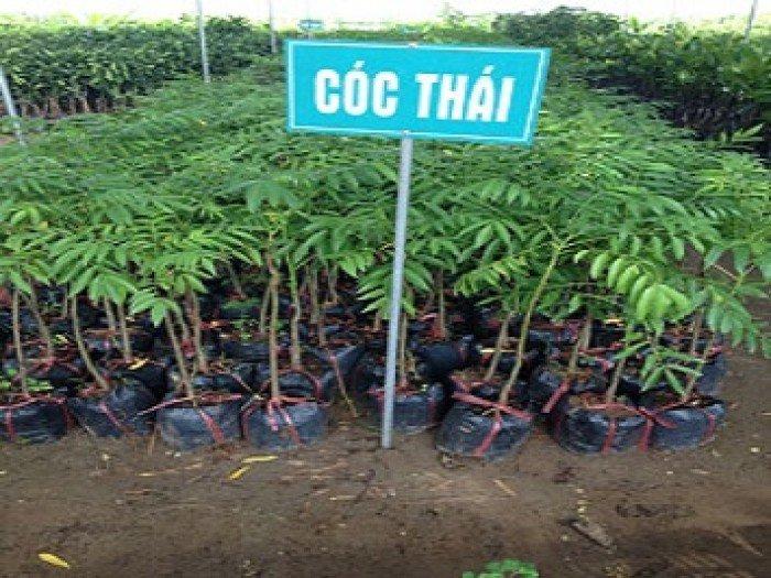 Chuyên cung cấp cây cóc thái, cóc, cây cóc,giống cóc thái chất lượng cao, cóc thái2