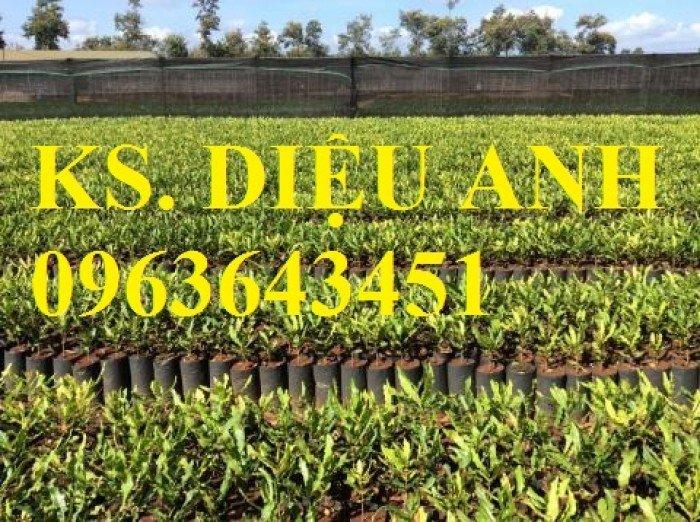 Chuyên cung cấp cây giống mắcca, cam kết chuẩn giống, giao cây toàn quốc.3