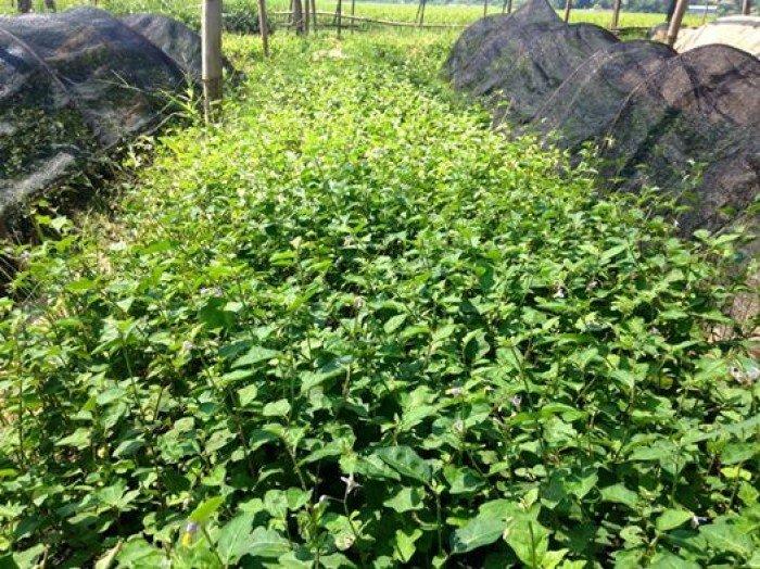 Chuyên cung cấp cây giống, hạt giống cà gai leo, cà gai leo2