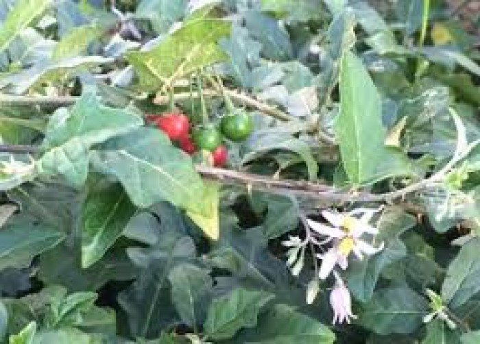 Chuyên cung cấp cây giống, hạt giống cà gai leo, cà gai leo3