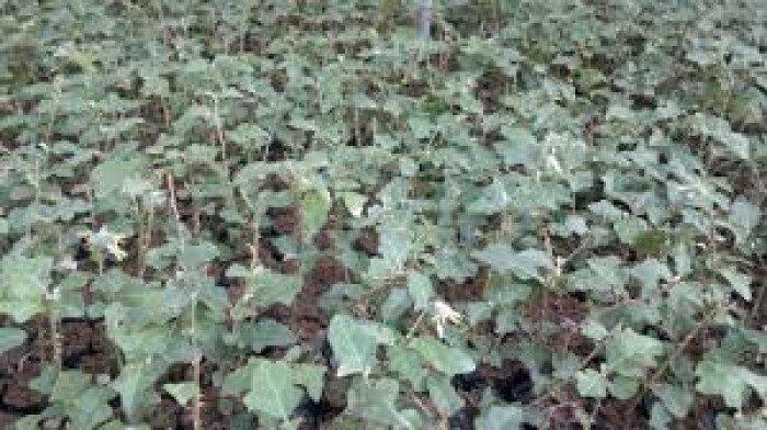 Chuyên cung cấp cây giống, hạt giống cà gai leo, cà gai leo4
