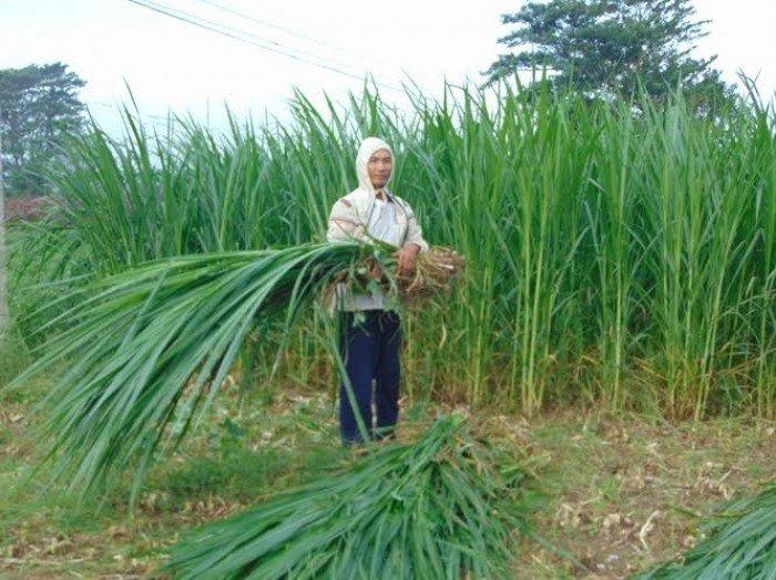 Chuyên cung cấp giống cỏ Varisme, cỏ VA060