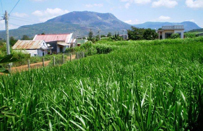 Chuyên cung cấp giống cỏ Varisme, cỏ VA061