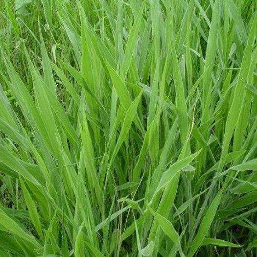Chuyên cung cấp giống cỏ Varisme, cỏ VA062