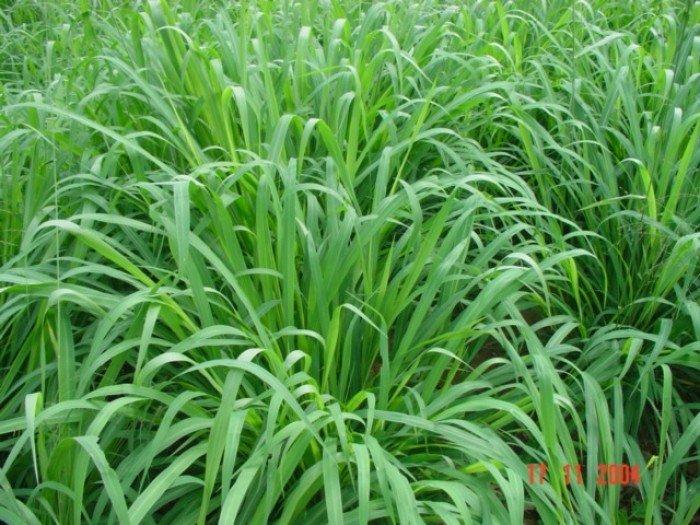 Chuyên cung cấp giống cỏ Varisme, cỏ VA063