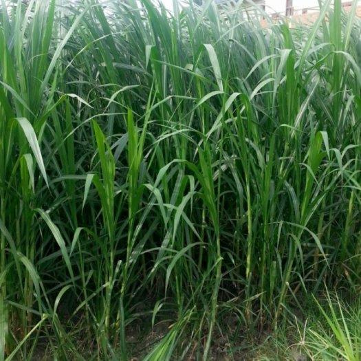 Chuyên cung cấp giống cỏ Varisme, cỏ VA064