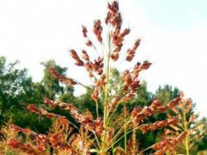 Chuyên cung cấp giống cỏ sudan, hạt giống cỏ sudan,cỏ sudan,cỏ su dan,cỏ sudan chất lượng0