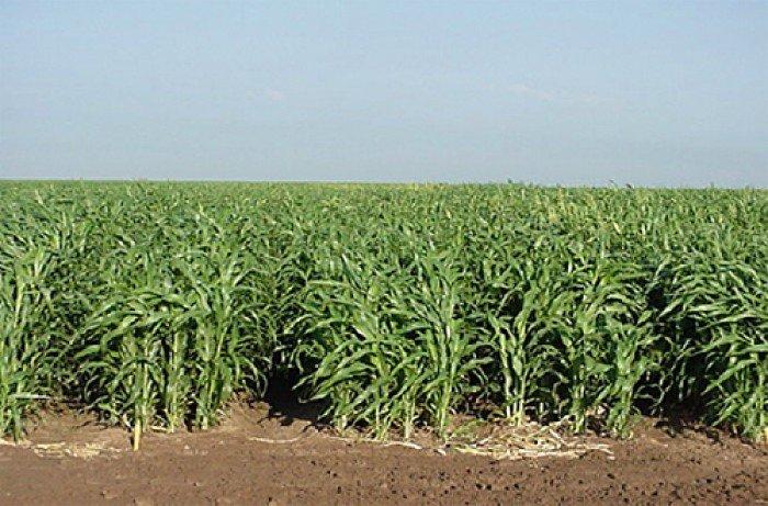 Chuyên cung cấp giống cỏ sudan, hạt giống cỏ sudan,cỏ sudan,cỏ su dan,cỏ sudan chất lượng1