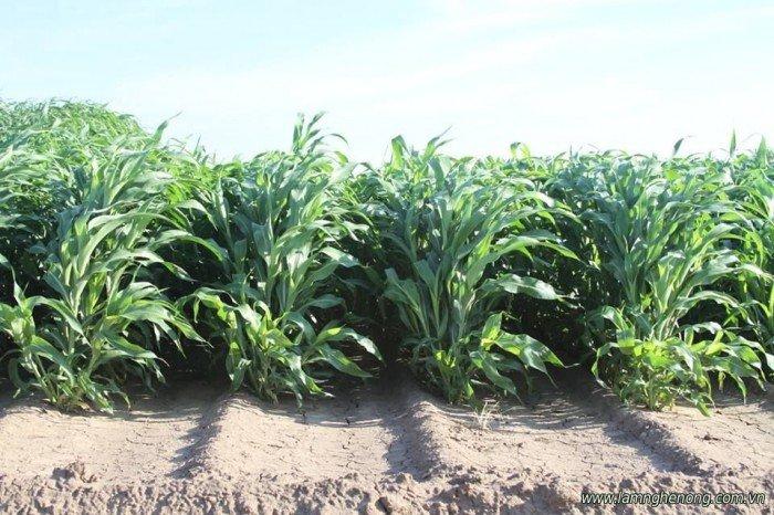 Chuyên cung cấp giống cỏ sudan, hạt giống cỏ sudan,cỏ sudan,cỏ su dan,cỏ sudan chất lượng3