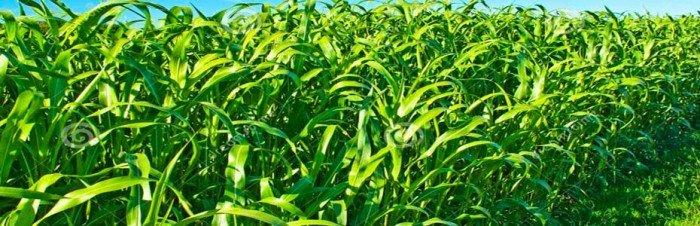 Chuyên cung cấp giống cỏ sudan, hạt giống cỏ sudan,cỏ sudan,cỏ su dan,cỏ sudan chất lượng4