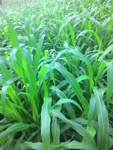Chuyên cung cấp giống cỏ sudan, hạt giống cỏ sudan,cỏ sudan,cỏ su dan,cỏ sudan chất lượng6
