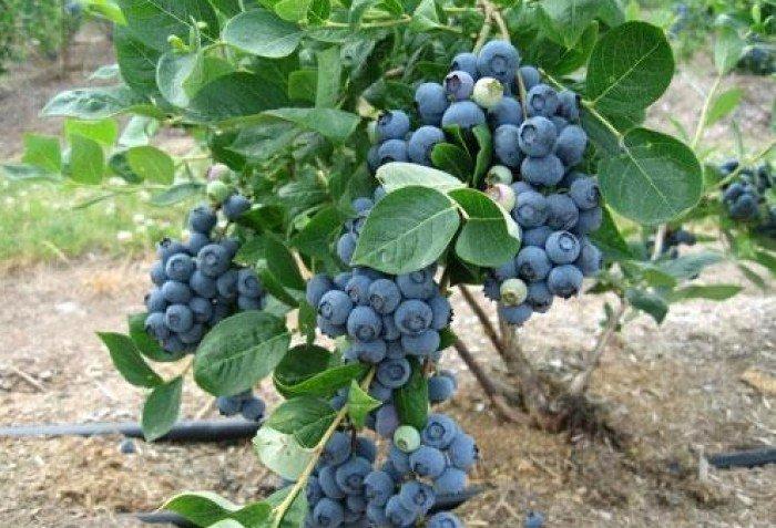 Chuyên cung cấp các loại cây giống việt quất, cam kết chuẩn giống4