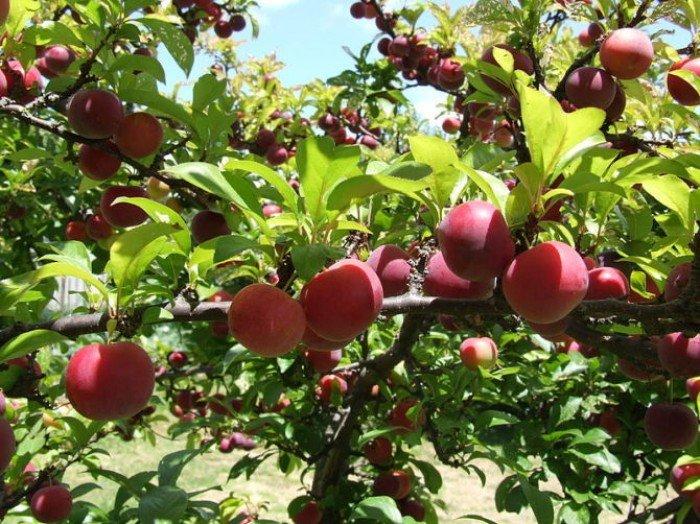 Chuyên cung cấp các loại cây giống mận tam hoa, cam kết chuẩn giống, giao cây toàn quốc.0