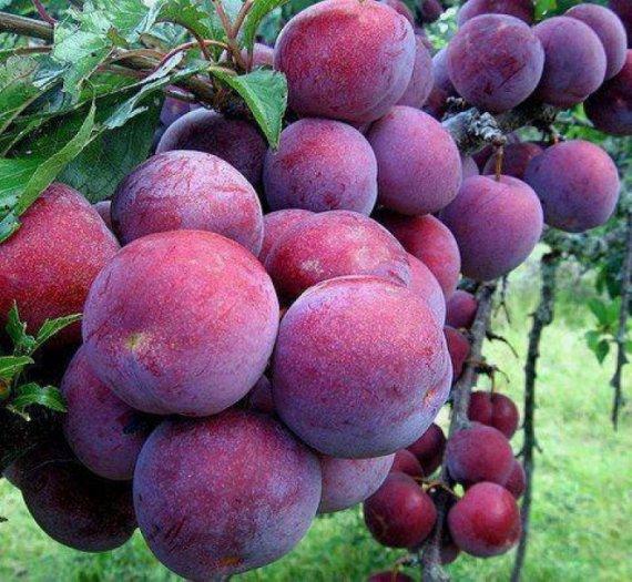 Chuyên cung cấp các loại cây giống mận tam hoa, cam kết chuẩn giống, giao cây toàn quốc.2