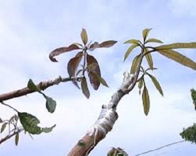 Chuyên cung cấp dây nilon ghép cây tự hủy,băng ghép cây,dây ghép cây,nilon ghép cây4