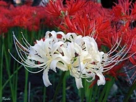 Ý nghĩa cây hoa bỉ ngạn trên MuaBanNhanh
