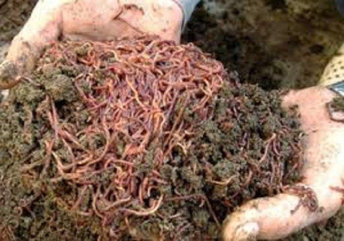 Chuyên cung cấp phân trùn quế, phân giun quế, trùn quế, phân trùn quế vi sinh3