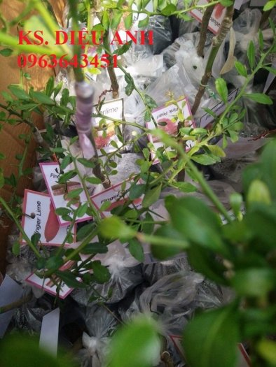 Chuyên cung cấp cây giống chanh nhập khẩu: chanh ngón tay, chanh máu, chanh ruột đỏ, cam máu.7