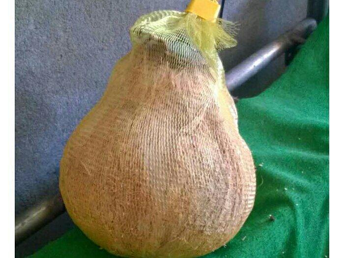 Dừa sáp chất lượng cao1