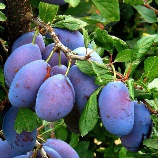 Chuyên cung cấp cây giống mận đường, giống mận nhập khẩu, mận đường,mận ngọt, mận1