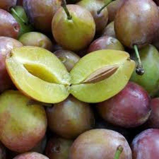 Chuyên cung cấp cây giống mận đường, giống mận nhập khẩu, mận đường,mận ngọt, mận2