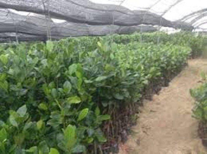 Bán cây giống mít thái siêu sớm tứ quý, bốn mùa, cam kết chuẩn giống, số lượng lớn, giao cây toàn quốc.2