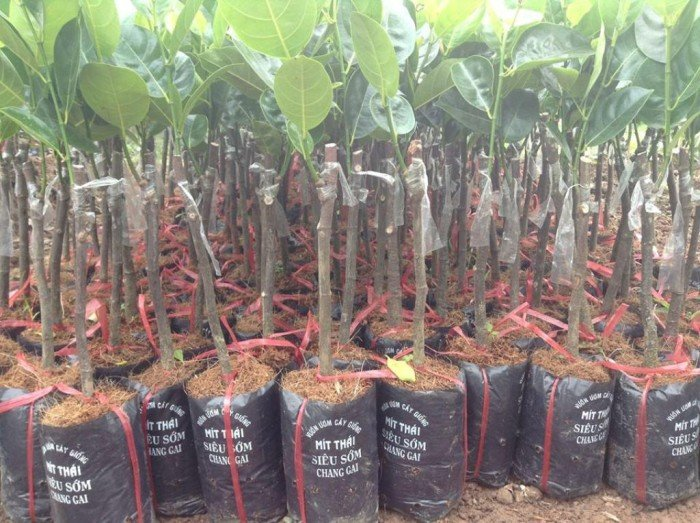 Bán cây giống mít thái siêu sớm tứ quý, bốn mùa, cam kết chuẩn giống, số lượng lớn, giao cây toàn quốc.4