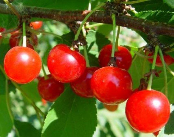 Chuyên cung cấp cây giống cherry anh đào, giống cherry nhập khẩu, giống cherry0