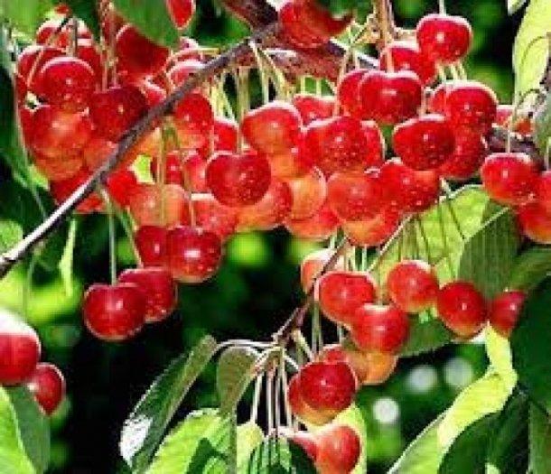Chuyên cung cấp cây giống cherry anh đào, giống cherry nhập khẩu, giống cherry1