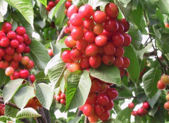 Chuyên cung cấp cây giống cherry anh đào, giống cherry nhập khẩu, giống cherry2