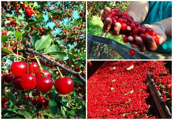 Chuyên cung cấp cây giống cherry anh đào, giống cherry nhập khẩu, giống cherry3