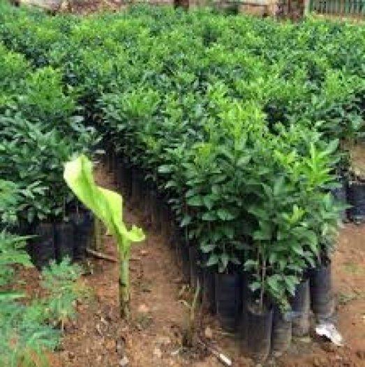 Chuyên cung cấp giống cây bưởi lùn tứ xuyên,bưởi lùn tứ xuyên,bưởi lùn0