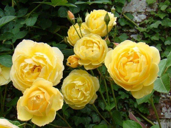 Chuyên cung cấp giống hồng ngoại giâm cành,hồng ngoại,hoa hồng,hồng ngoại2
