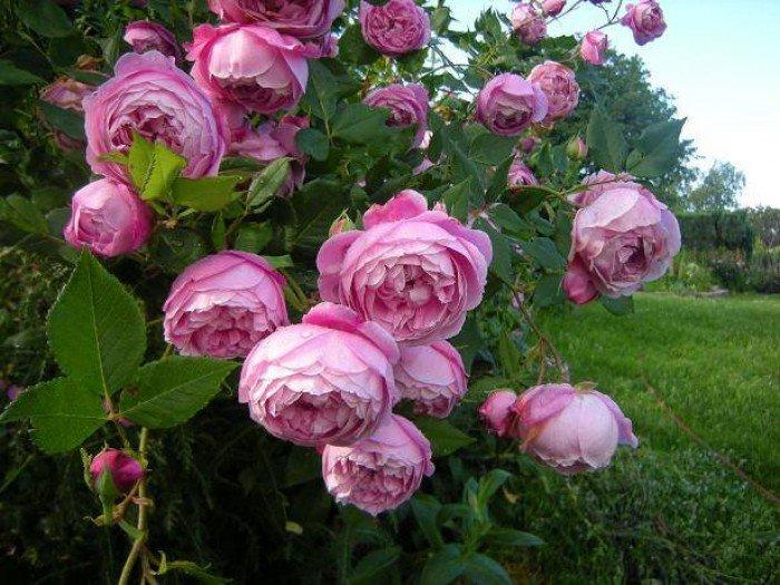 Chuyên cung cấp giống hồng ngoại giâm cành,hồng ngoại,hoa hồng,hồng ngoại3