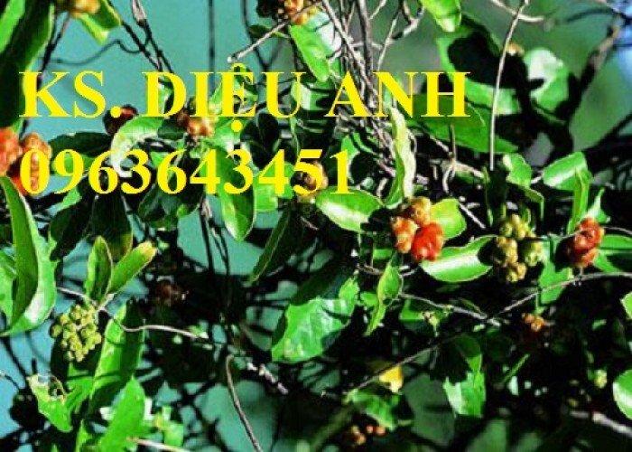 Bán cây các loại: ba kích, cà gai leo, hạt cà gai leo, hoa hòe, gừng trâu, đinh lăng3