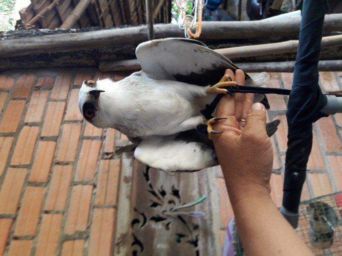 Bán chim diều trắng đã thuần, rất dễ thương, ngoãn0