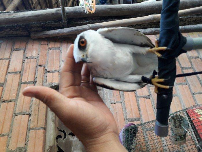 Bán chim diều trắng đã thuần, rất dễ thương, ngoãn1