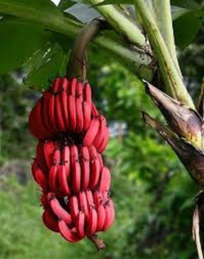 Chuyên cung cấp giống cây chuối đỏ đacca, chuối đỏ, chuối đỏ đacca, chuối, chuối đỏ úc2