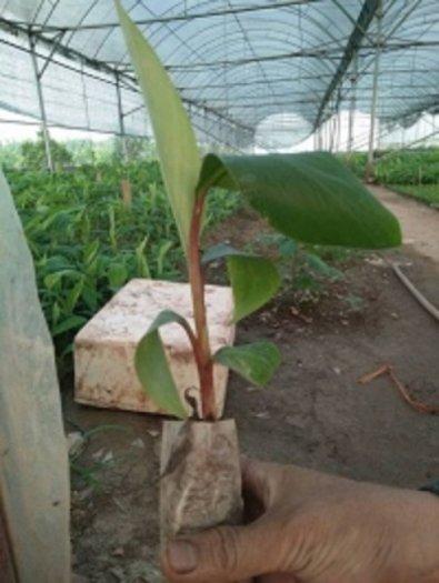 Chuyên cung cấp giống cây chuối đỏ đacca, chuối đỏ, chuối đỏ đacca, chuối, chuối đỏ úc3