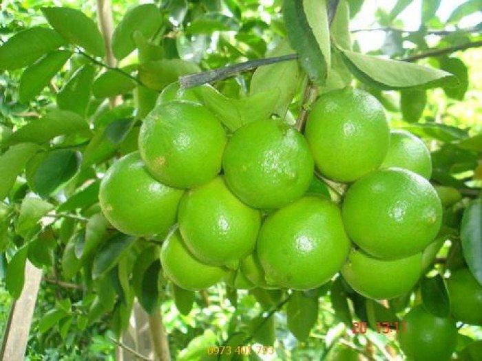Chuyên cung cấp cây giống chanh bốn mùa, chanh tứ quý, số lượng lớn, giao hàng toàn quốc1